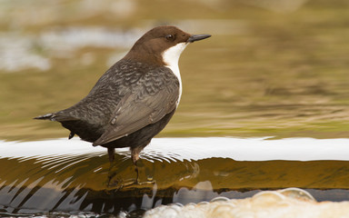 Dipper in the water