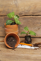 Seedling plants and pots