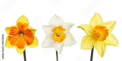 Papiers peints Narcisse Three daffodils