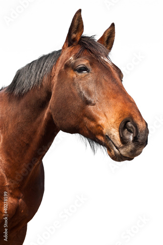 Poster Paarden Cheval - Fond blanc