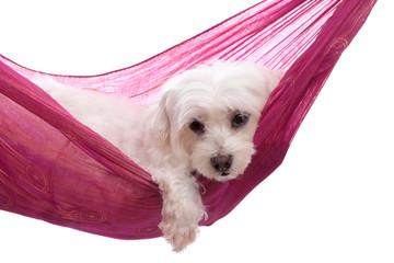 Pampered puppy lying in hammock