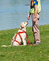 cane di salvataggio, Labrador