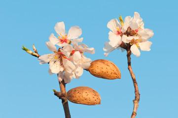 Mandelvollblüteblüte in der Wachau.