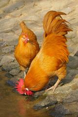 Hühner