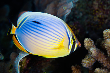 Redfin Butterflyfish, Maldives
