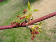 Young maple twig with red catkins