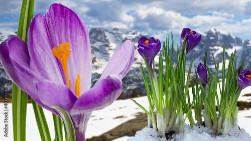 Foto op Aluminium Krokussen Springtime in mountains - crocus flowers in snow