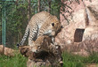 Leopards (Panthera Pardus) mate