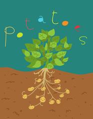 pianta di patate