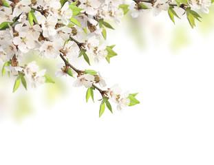 Flowers of cherry