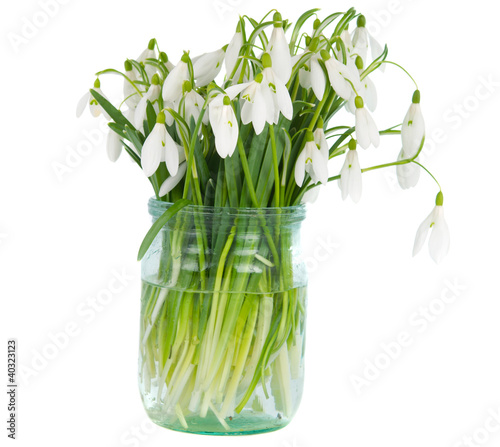 snowdrops in vase isolated
