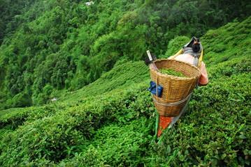 Tea picker with basket in Darjeelin