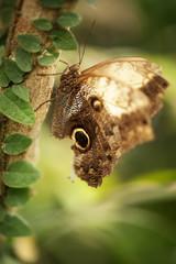 Giant Owl Butterfly (Caligo Idomeneus)