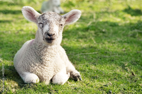 Adorable lamb