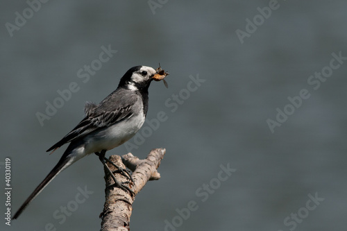 Wagtail on a twig with insects in its beak