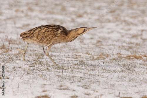 Bittern sneaking in snow