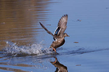 Mallard running on water