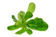 Feldsalat - lambs lettuce 01