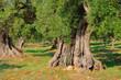 Fototapeten,olivenbaum,baum,toskana,italien