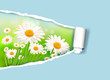 Nature background with fresh daisy and ripped paper  Vector