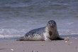 Young grey seal on the beach