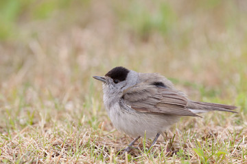 Blackcap Male in a grass field