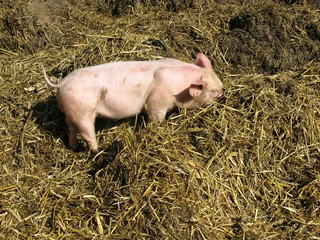 A young pig rooting in the manure
