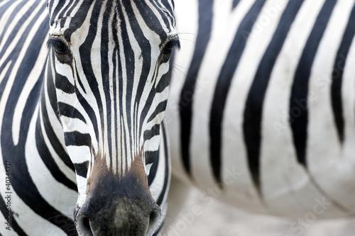 Aluminium Meest verkochte foto's Portrait of a zebra
