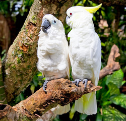 White Cockatoo Parrot in nature surrounding