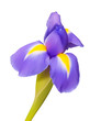 Iris flower vector drawing, beautiful nature