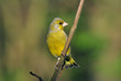 Greenfinch (Carduelis chloris)