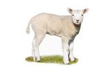 Fototapeta owca - uprawa - Zwierzę Hodowlane