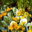 krokus bratek stokrotka hiacynt konwalia kwiaty doniczka