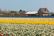Multicolored narcissus field