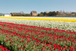 Narcissus and Red tulip field