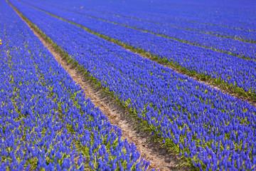 Blue Muscari (hyacinth) field - II