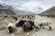 Sheeps in Himalaya