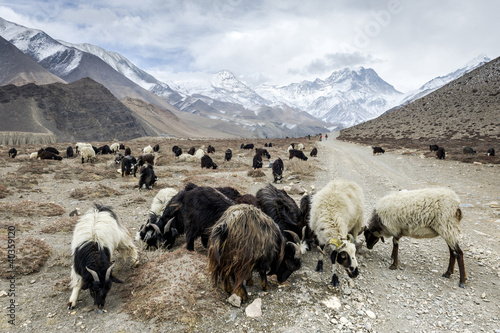 Sheeps in Himalaya