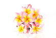 Frangipani on white background