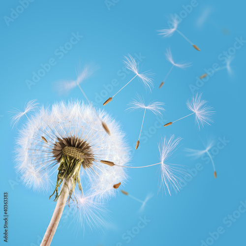 Poster Paardebloem Dandelion seeds blown in the sky