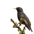 Starling on branch isolated on white background