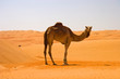 Cute single-humped camel in beautiful omani desert