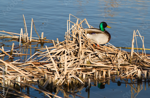 Mallard at Albufera (Valencia, Spain)