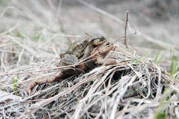 toads in Love
