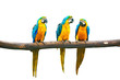 Talking parrots Blue-and-Yellow Macaw