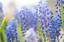muscari raisin jacinthe d'