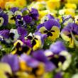 bratki fioletowe małe dużo sadzonki ogród niebieskie żółte