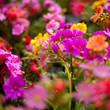 bratki fioletowy biały modry płatki kwiaty kwiatki sadzonka