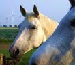 Weißes Pferd auf der Koppel