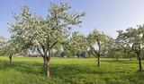 apfelblüte in bad feilnbach